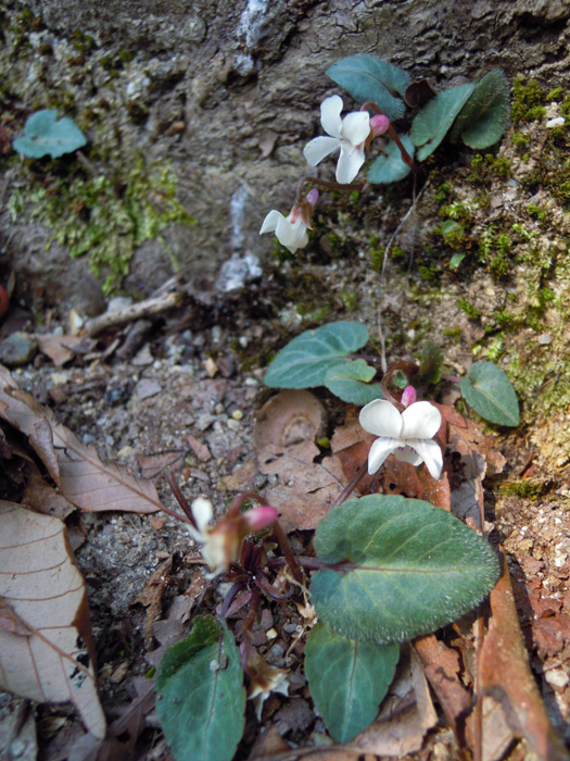 フモトスミレの花。