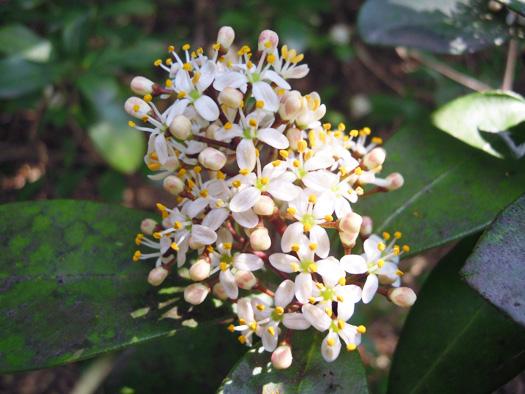 ミヤマシキミの雄花。