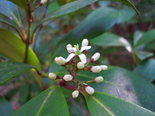 ミヤマシキミの雌花。