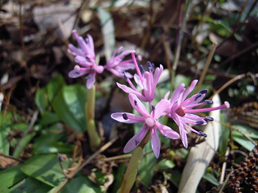 ショウジョウバカマの花。
