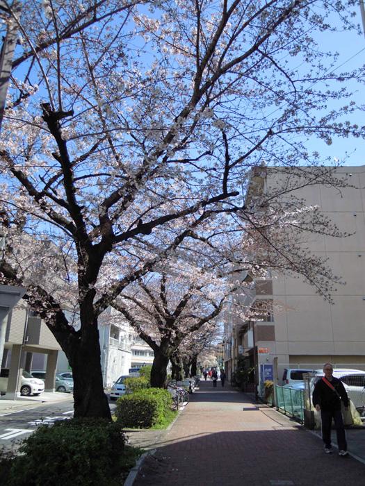 水道みち緑道の桜。