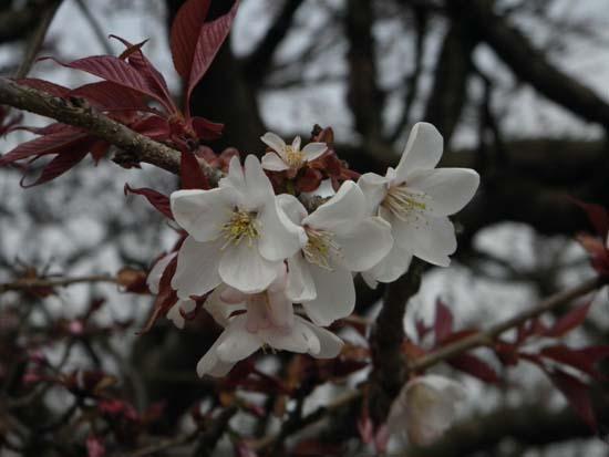 2016 0330 桜