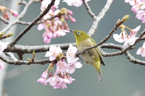 春色メジロ