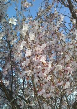 桜(2016・3・31)