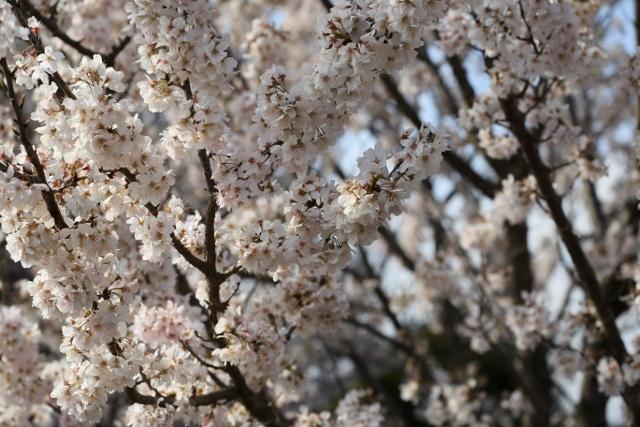 20160326 足柄桜5 (640x427)