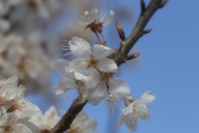 20160326 足柄桜7 ソフトンA (640x427)
