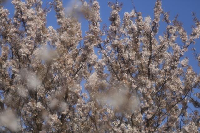 20160326 足柄桜9 ソフトンA (640x427)
