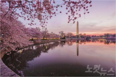 ワシントンの桜は韓国の王桜