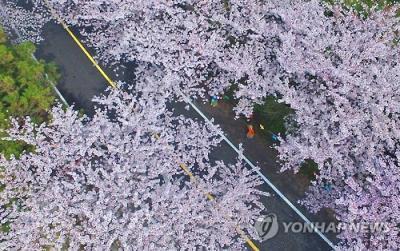 韓国のソメイヨシノ