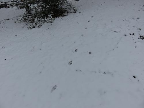 キツネの足跡 VC160311