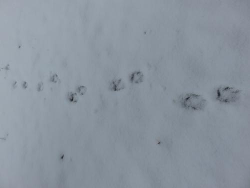 タヌキの足跡 VC160311