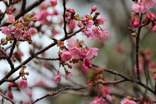 桜2016-9