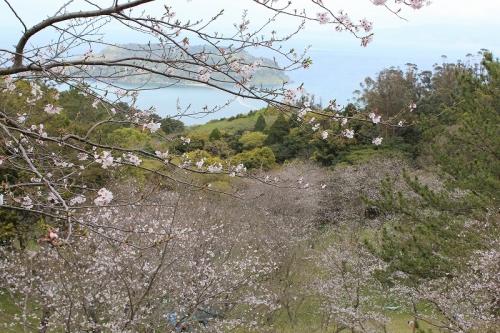 魚見桜2016-4