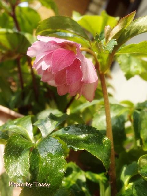 クリスマスローズ ピンク八重咲き