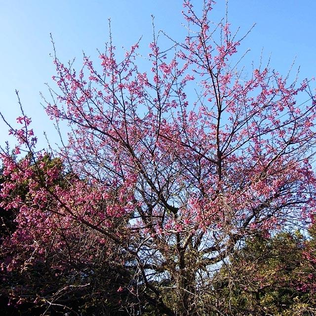 寒緋桜(かんひざくら)(218184 byte)