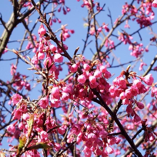 寒緋桜(かんひざくら)(141845 byte)