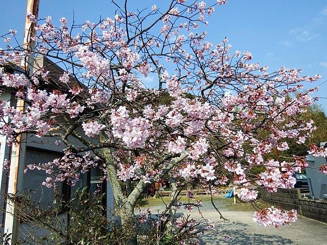 早咲きの桜2(162720 byte)