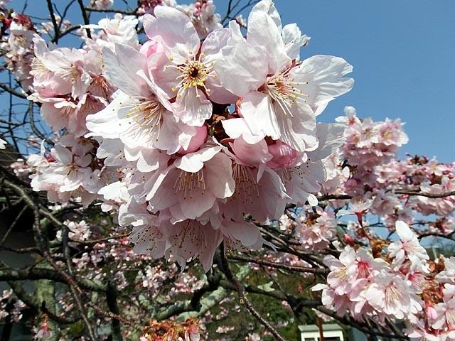 早咲きの桜(102671 byte)
