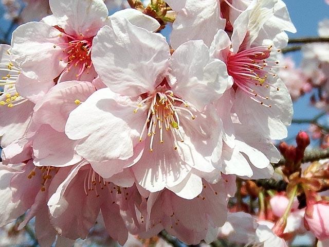 早咲きの桜(82083 byte)