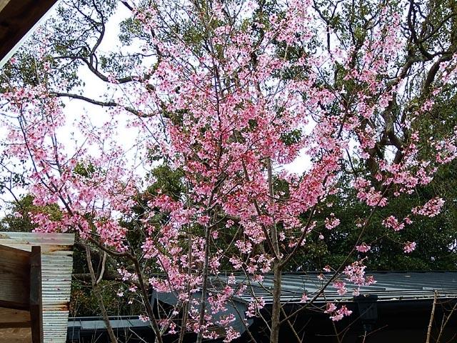 早咲き桜(175917 byte)