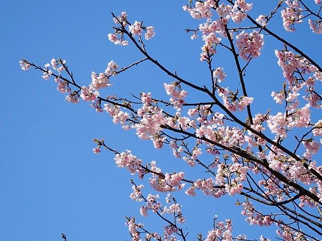 早咲き桜(100231 byte)