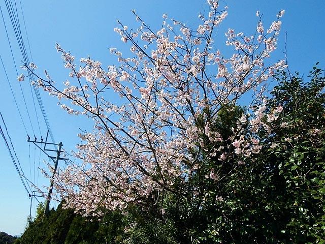 早咲き桜(142391 byte)