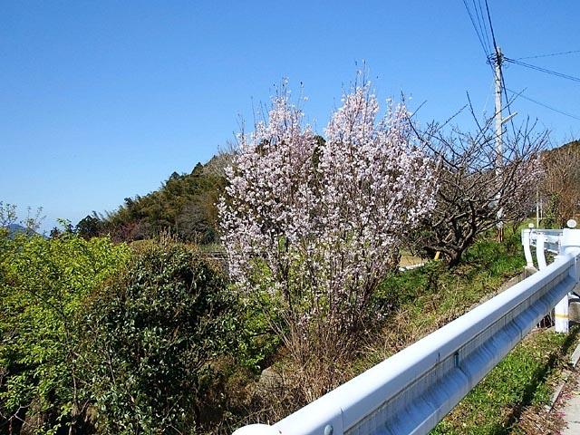早咲き桜(125927 byte)
