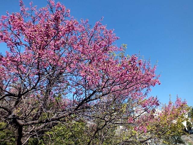 寒緋桜(かんひざくら)(110755 byte)