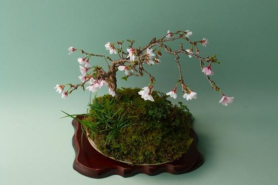雲竜富士桜H23年A