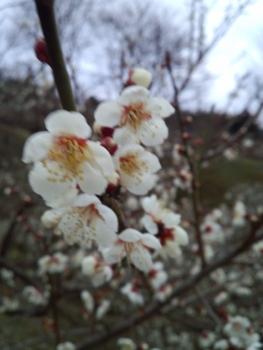 20160223梅の花