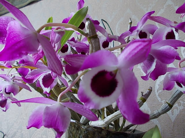 Dendrobium hybrid 20160306