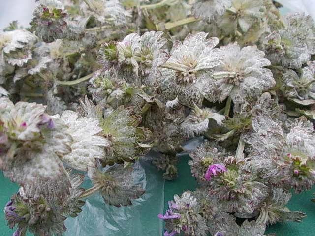 Hotokenoza weed 20160316