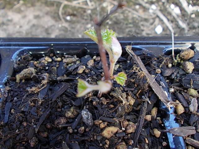 Vitis ficifolia 20160317