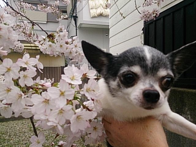 DSC_4295 20160402近所の桜