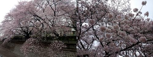 2016sakura.jpg