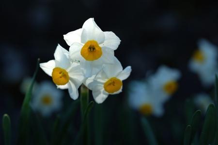 早春の妖精