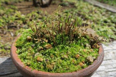 新芽が伸び始めた時が枯れ葉の刈り時