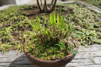 斑入り風知草・芽が伸びる