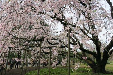 六義園・枝垂桜2