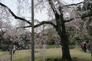 後楽園・枝垂桜