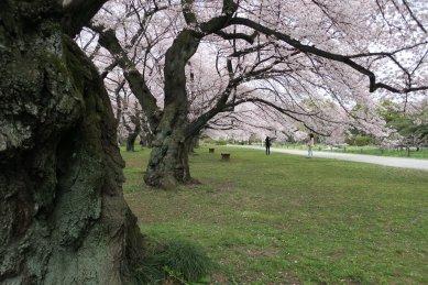 小石川植物園・ソメイ古木群/外国人のいなくなった後