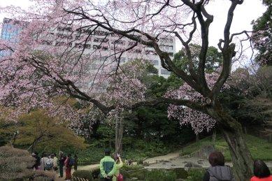 まだ咲いていた、大堰川辺りの枝垂れ桜
