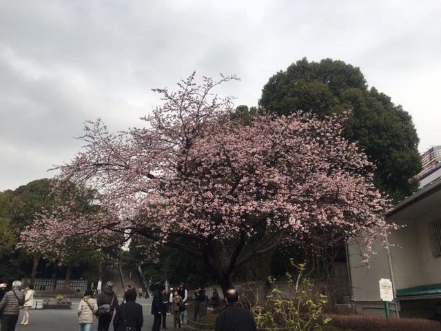 上野公園寒桜