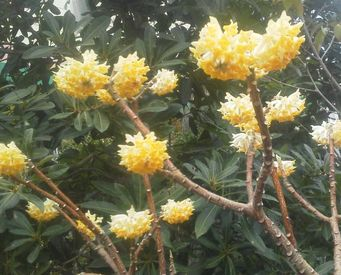 ミツマタ・黄色②