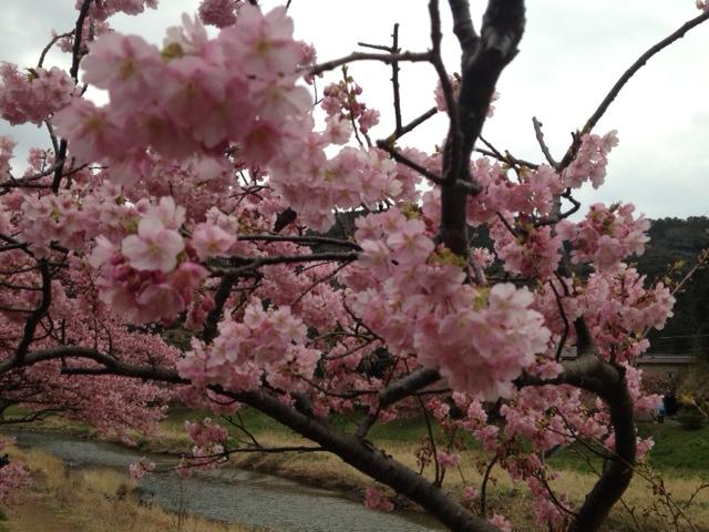 伊豆3月の桜