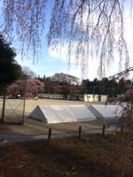3月31日の小学校の桜