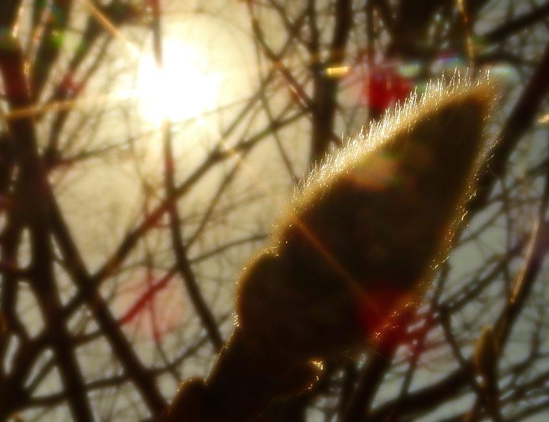 1602辛夷の冬芽3