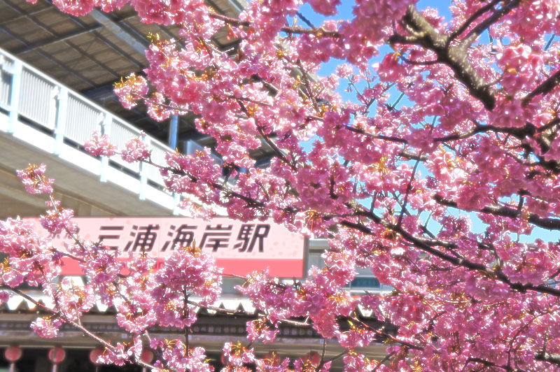 160221三浦海岸河津桜1
