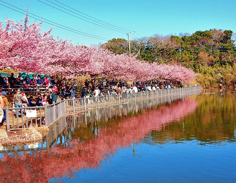 160221三浦海岸河津桜4