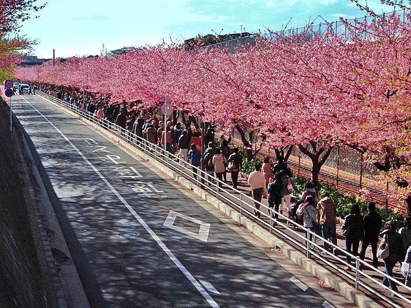 160221三浦海岸河津桜8